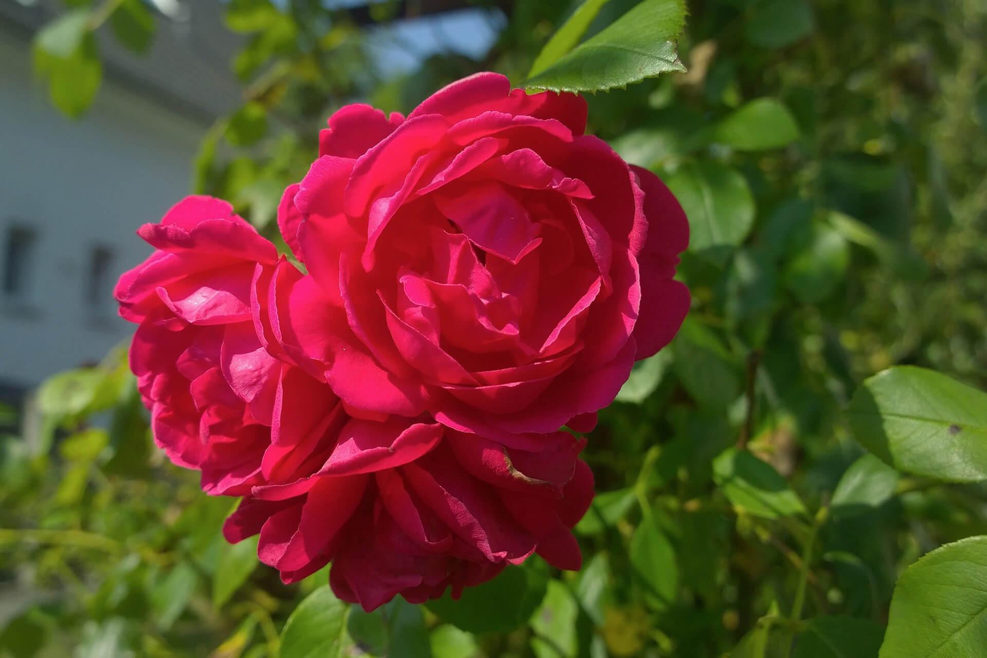 rose-886894_1920